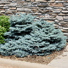 Dwarf Conifer Photo